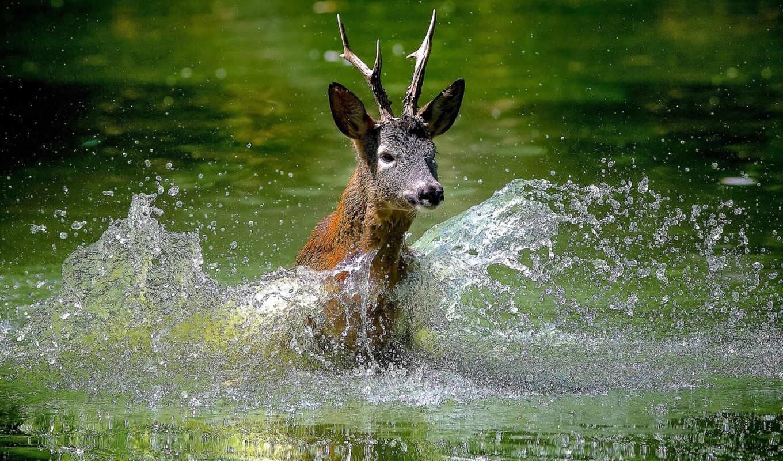 лань, молодой, оленей, скачет, олени, zhivotnye, фотографий, говорит, брызги, животных,