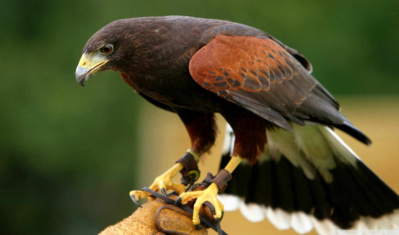 перепелятник, руке, птицы, сокола, красивый, птица,
