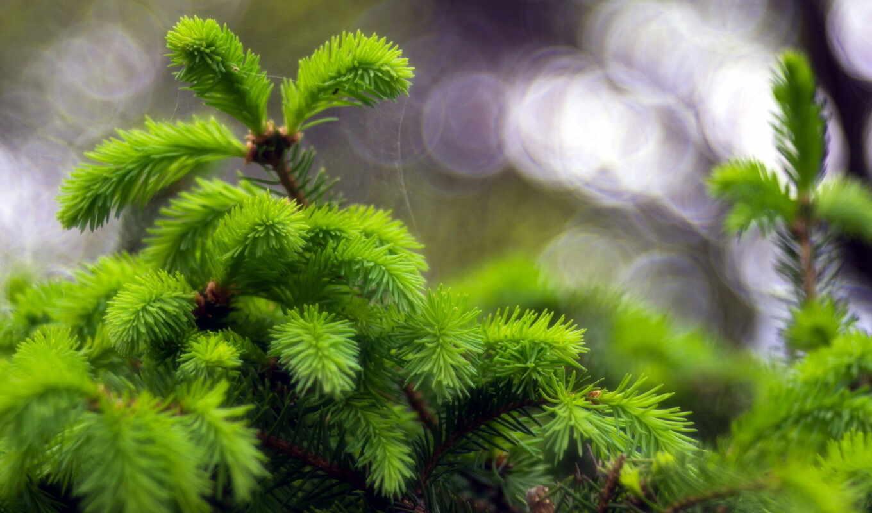макро, природа, дерево, ветки, иголки, water,
