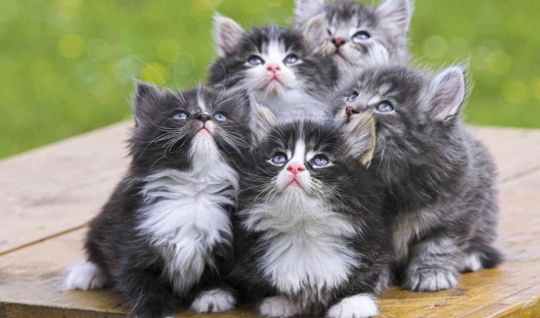 котята, кот, персидские, чёрно, кошки, но, персидских, кошек, пять, белых, серые,
