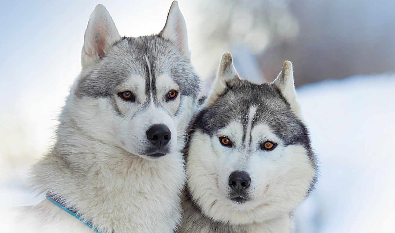 malamute, alaskan, собаки, хаски,