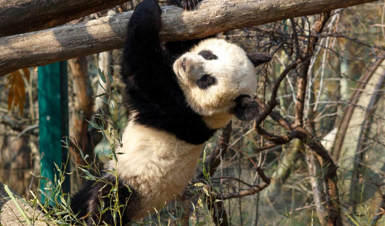 панда, oso, animales, escalando, pantalla, comentarios,