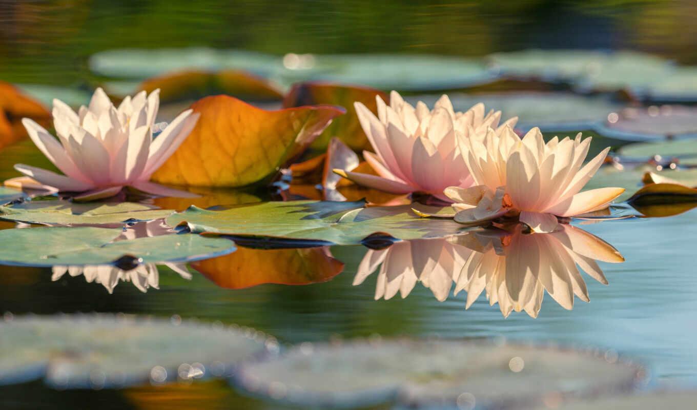 отражение, цветы, water, air, природа, lily, dot, пруд, leaf, свет, озеро