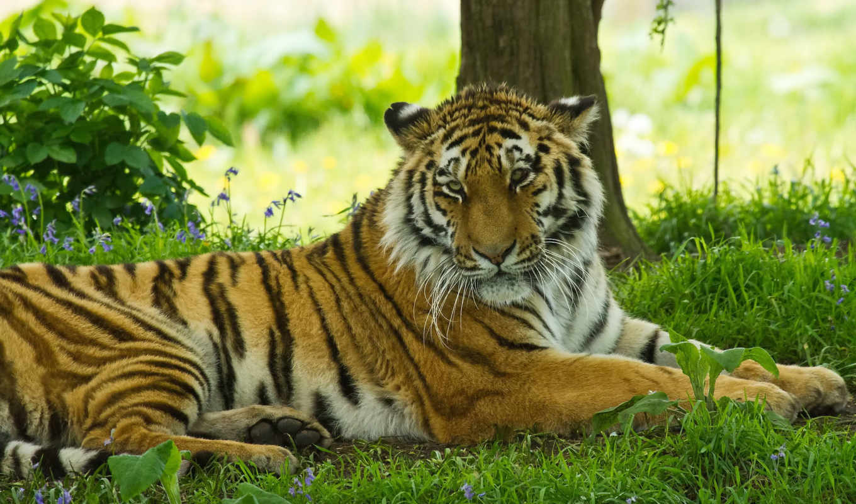 трава, тигр, отдых, кошка, морда, усы, тень, поолосатая, хищник,