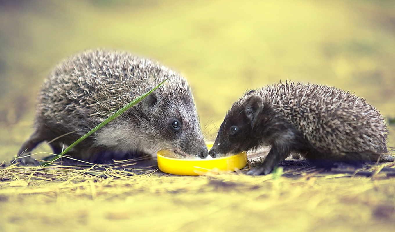 два, ежика, пьют, молоко, hedgehogs, ежей, фотографии, hedgehog,