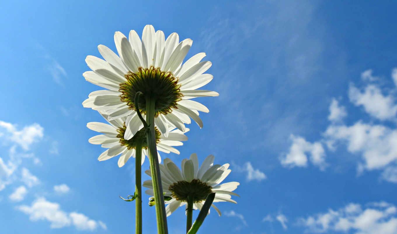 flowers, цветы, desktop, high,