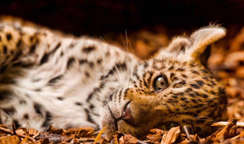 кошки, большие, animals, неделю, леопард, fonds, animaux,