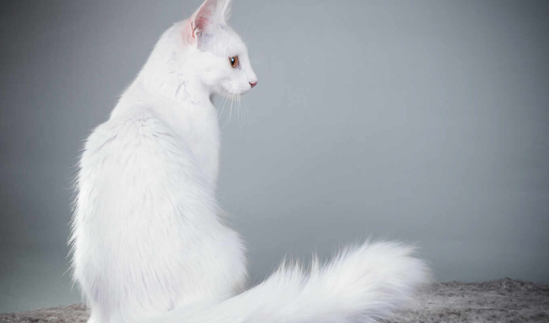 кот, white, глаз, смотреть, ангорский, взгляд, manee, трава