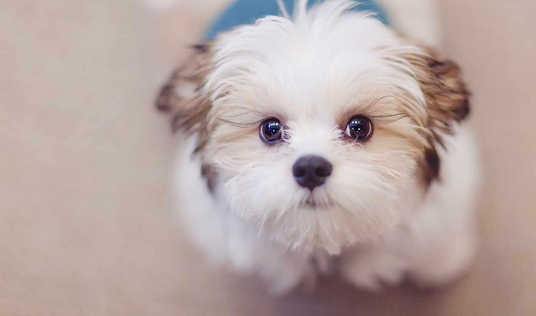 собака, little