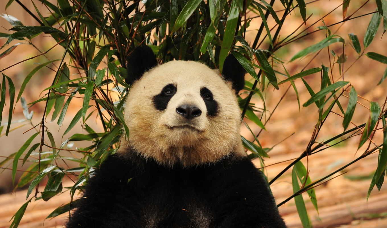 животных, диких, панда, animals, world, количество, животные,