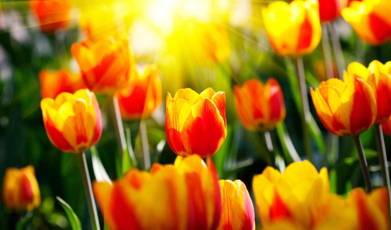 весна, весенние, природа, красивые, тюльпаны, sun, цветы, garden,