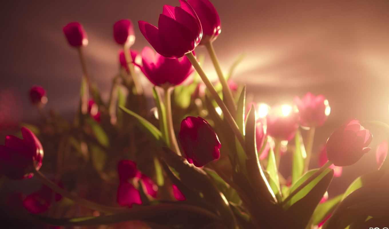 тюльпаны, цветы, tulips, flowers,