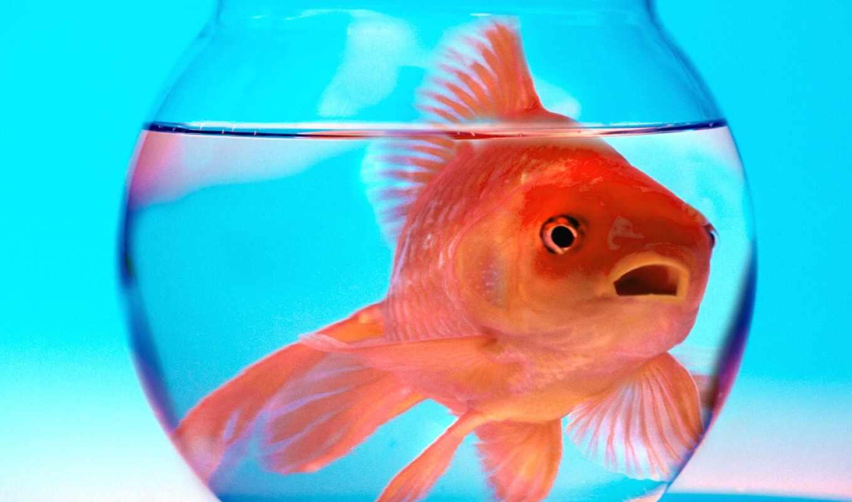 аквариуме, рыбок, аквариум, fish, золотая, рыбки, аквариума,