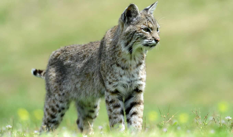ggnra, tapety, photos, wildcat, best, bobcat, животные, tags, desktop,