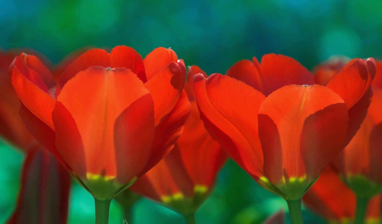 макро, flowers, cvety, любой,