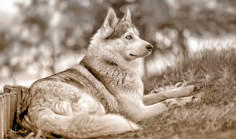 хаски, zhivotnye, анимационные, открытки, анимация, красивые, собаки, glaza, love, картинках,