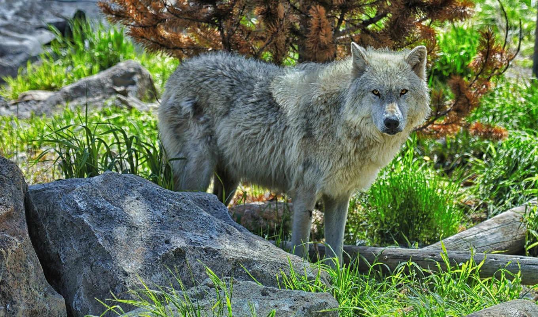 волк, лес, взгляд, волки, хищник, камни, памятник,