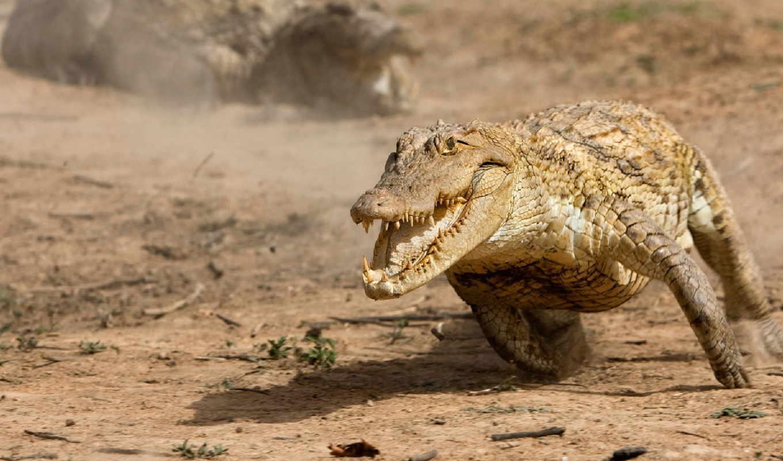 крокодил, февр,