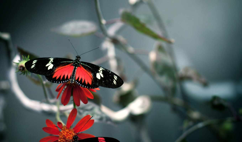 бабочка, black, red, красавица,