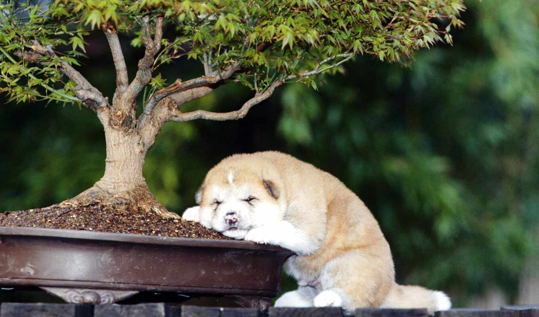planta, parede, papel, ina, щенок, собака, computador, акита, утомившийся, порода