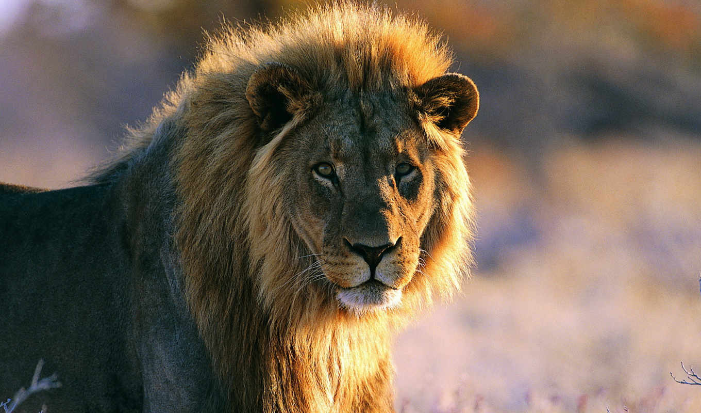 грива, lion, смотрит, стоит, морда,