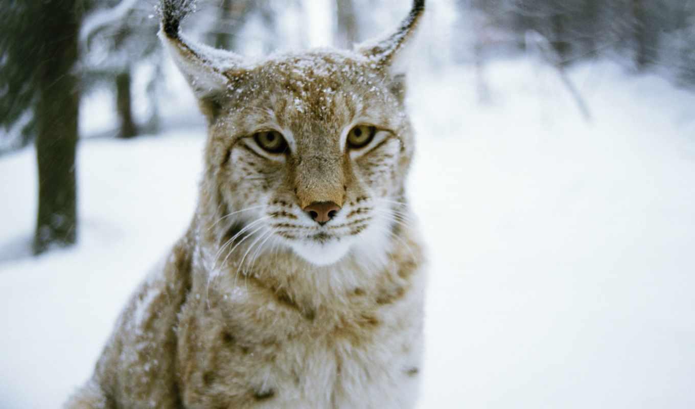 winter, кот, рысь, хищник, лес, снег, картинка,