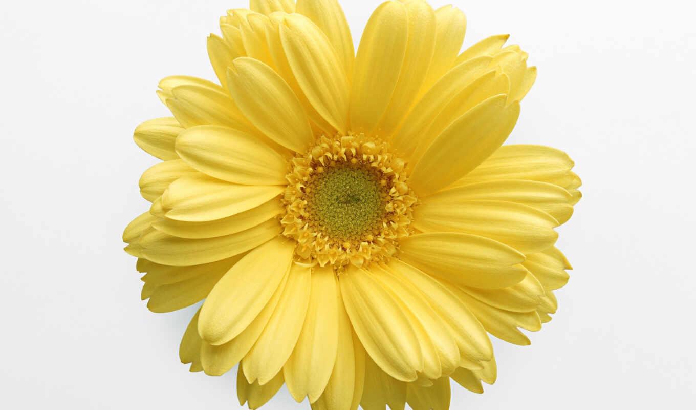 цветы, daisy, yellow, гербера, ромашка, подсолнух, прозрачный
