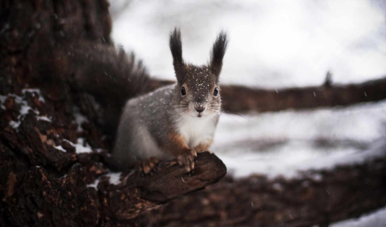 белка, зима, зимой, белки, обои, животные, фото, м