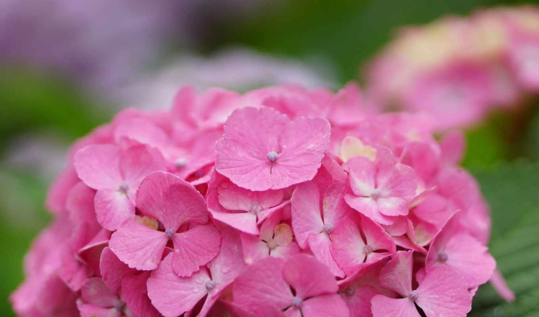 tarde, гортензия, boa, розовая, дневник, айси, цветы, cvety, телефон,