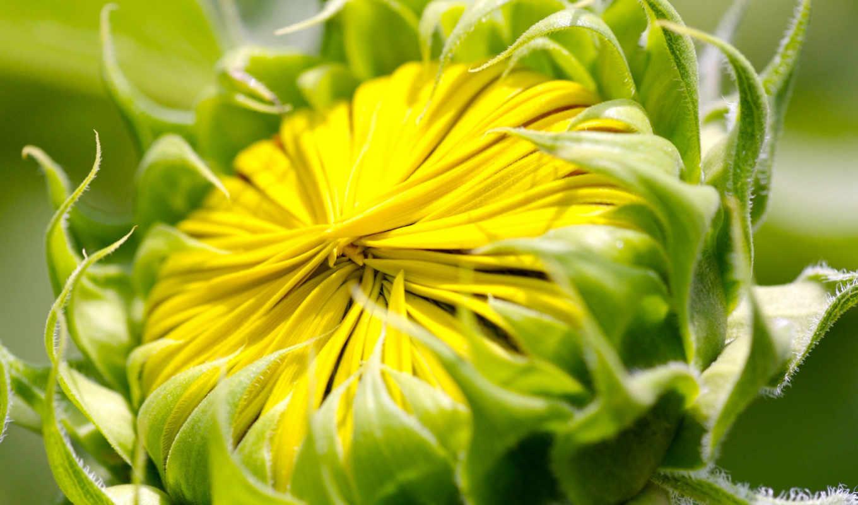 flower, free, bud, flowers, подсолнух, desktop, summer, sunny, ease,