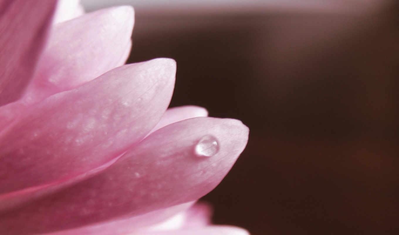 лепестки, макро, розовый, капля, flower, full, download, лепестке,