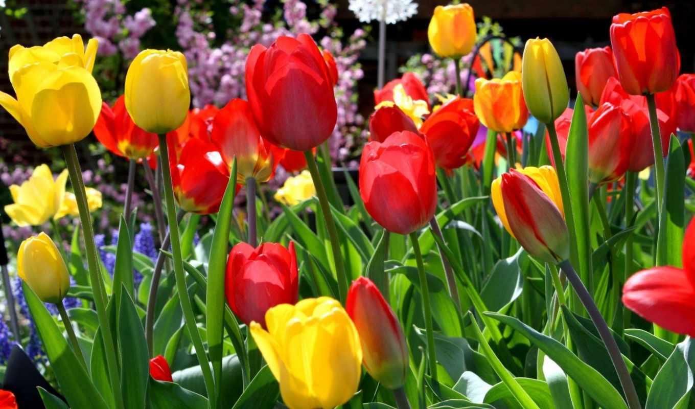 flowers, resolution, категория, tulips, desktop, filename, info, sunny,