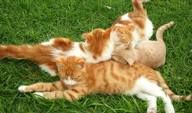 кошки, рыжие, red, траве, кот,