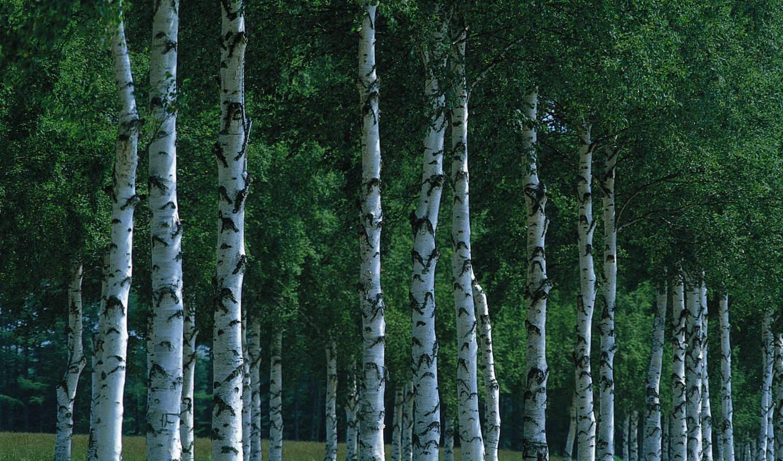 березы, природа, grove, лес, береза, листья,