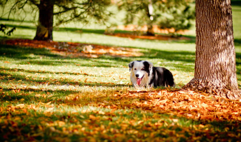 осень, собака, dogs, листья,