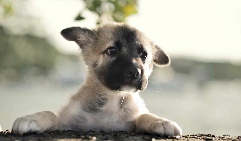 немецкая, овчарка, german, щенок, собаки, собака, мар,