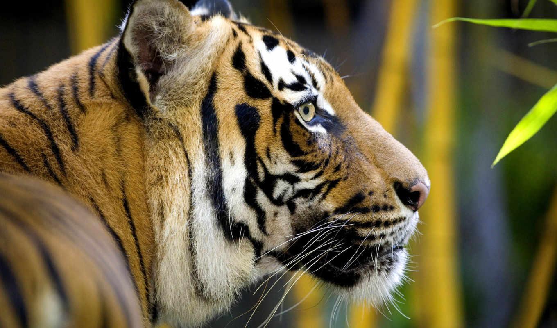 тигр, профиль, кошка, голова, дикая, животное, хищник, wallpaper, tiger, животные, animals, tigers,