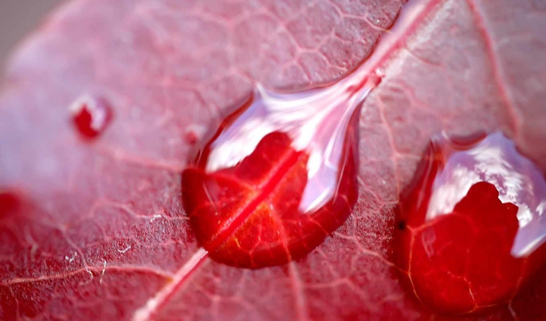 макро, лист, капля, leaf, капельки, desktop, water, жгут, красные, листья,