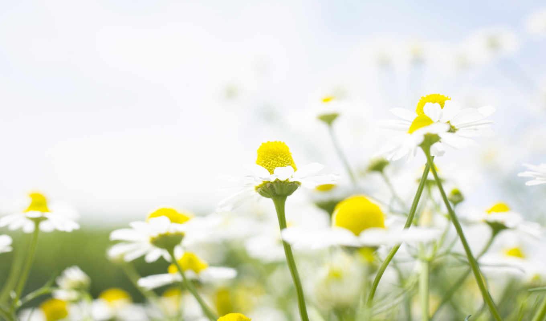 ромашки, cvety, февр, priroda,