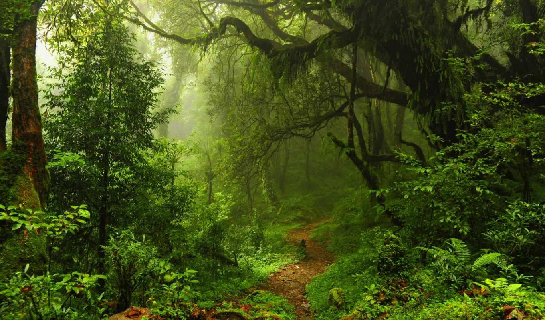 лес, деревя, природа, красивые, jungle, разрешением, зелёный,
