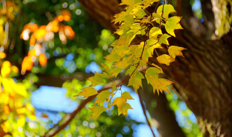 осень, дерево, branch, листва, листья,