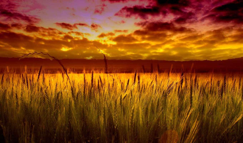 осень, широкоформатные, природа, красивые, fone, пшеница, скоро, поле,
