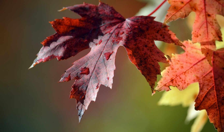 макро, листья, капли,