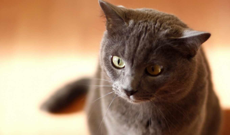 кошка, поза, дом, животные, картинка, desktop, картинку, grey, picsfab, кошки, кнопкой, озадаченно, картинок, думает, фабрика, мыши, похожие,