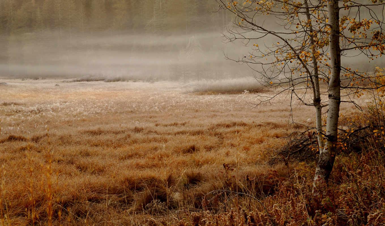 лес, ели, осень, травы, берёзка, утро, дымка, туманное, пасмурно, болотце, fog, природа,