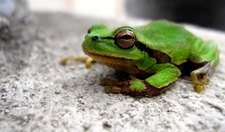 frog, камень, зеленая, лупатая, квака, лягушка, widescreen,