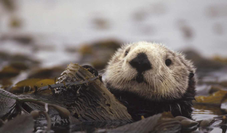 otter, выдры, морская,
