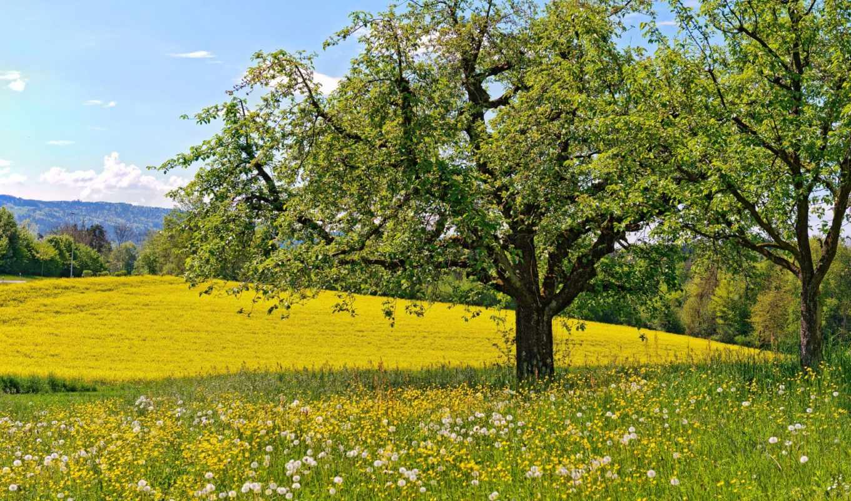 весна, широкоформатные, одуванчики, цветы, деревя,