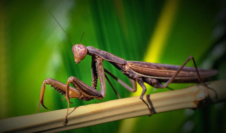 praying, mantis, бамбук, камень, природа,