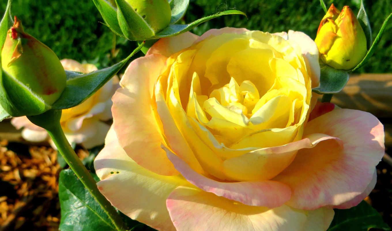 розы, цветы, желтая, всех, теги, хорошем, картинка, роза, цветов, качестве, цитатник,